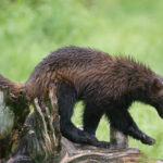 Wolverine climbing down from a fallen tree